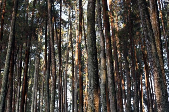 hutan pinus 02_blog